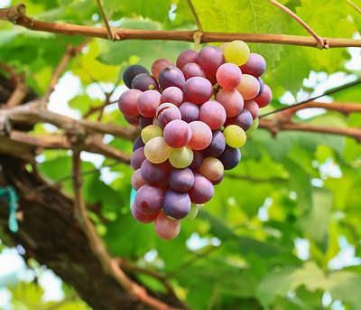 uvas colgando