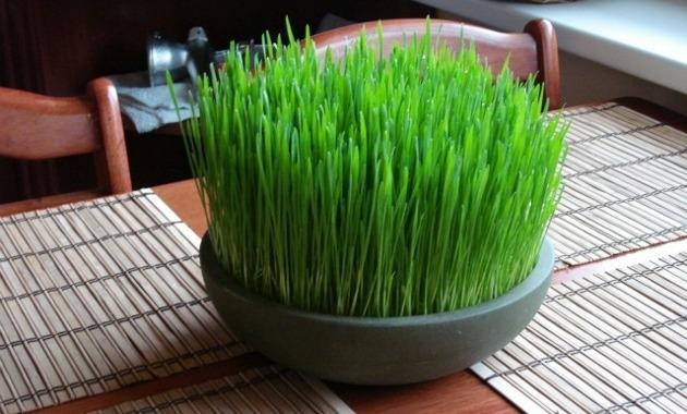 hierba de trigo germinando