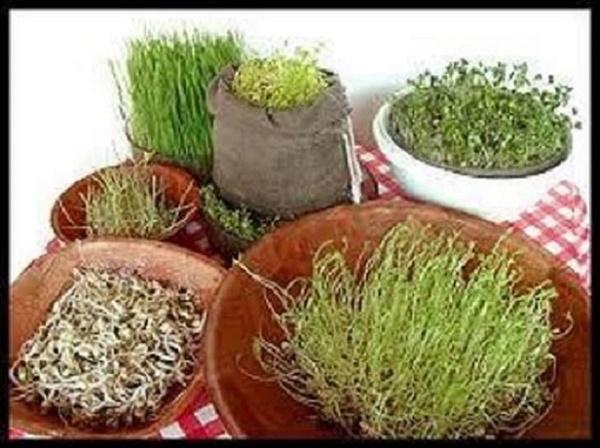Como producir granos y brotes germinados