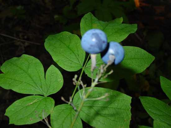 cohosh-azul